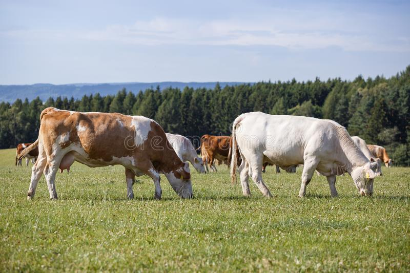 母牛和小牛牧群  免版税库存图片