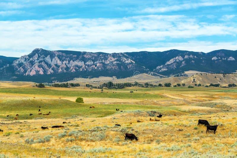 母牛和山 库存图片