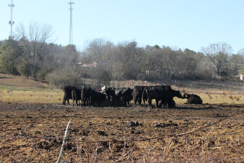 母牛和森林和自然 库存图片