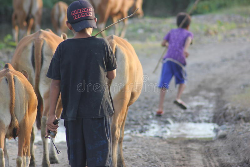 母牛和牛仔 库存图片