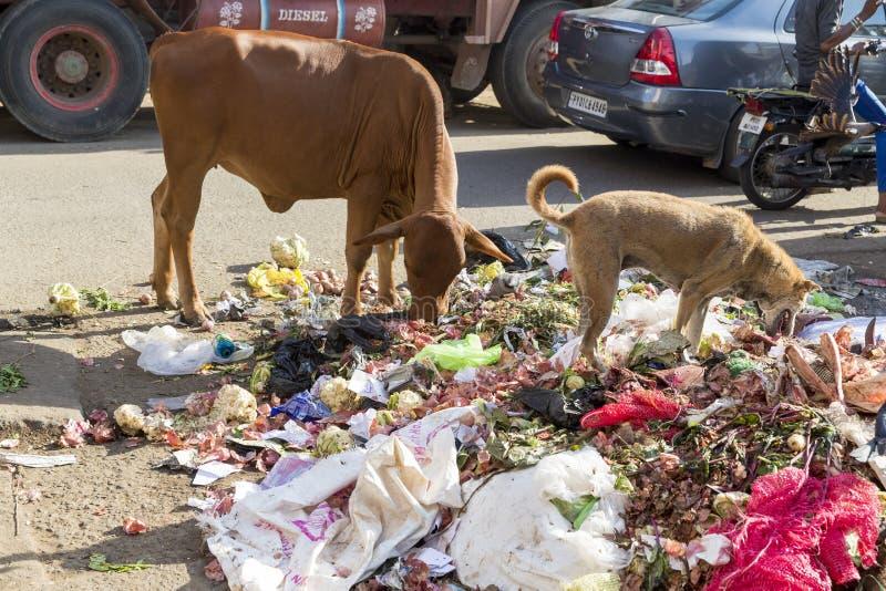 母牛和狗吃垃圾在一条街道在Pondichery印度的中心 库存照片