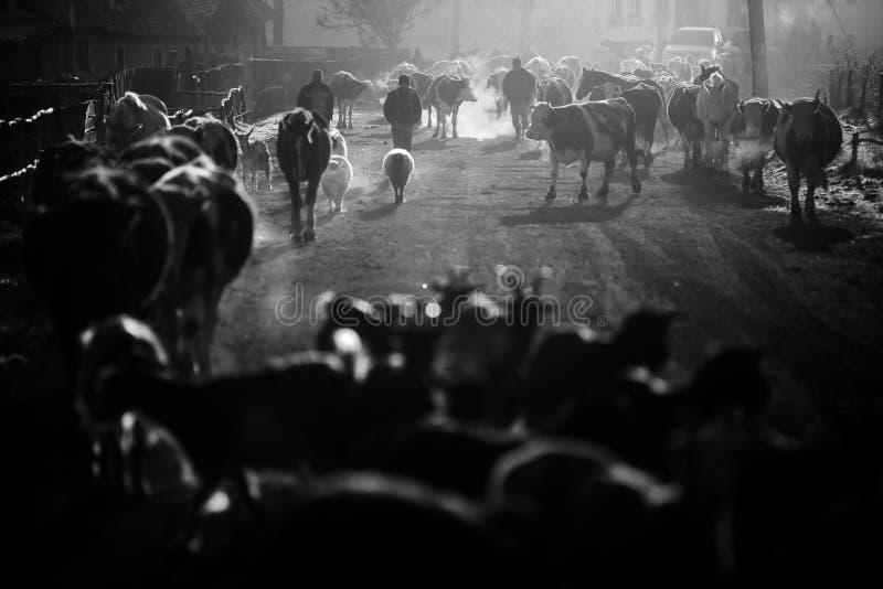 母牛和马在日出 免版税图库摄影