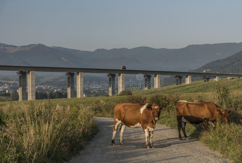 母牛和高速公路桥梁在Ruzomberok镇附近 库存图片