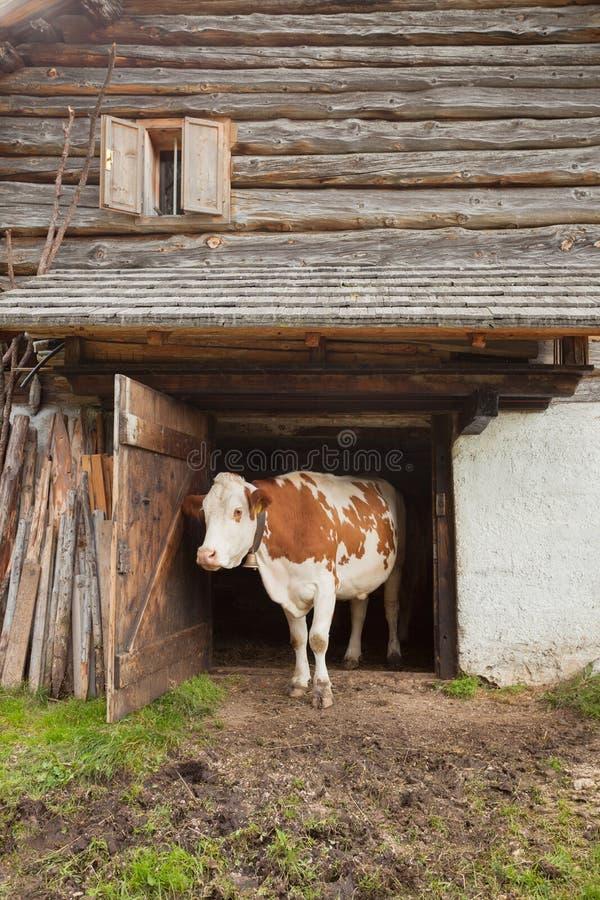 母牛在一个山牧场地在Val二Funes -白云岩站立它的牛棚 库存图片