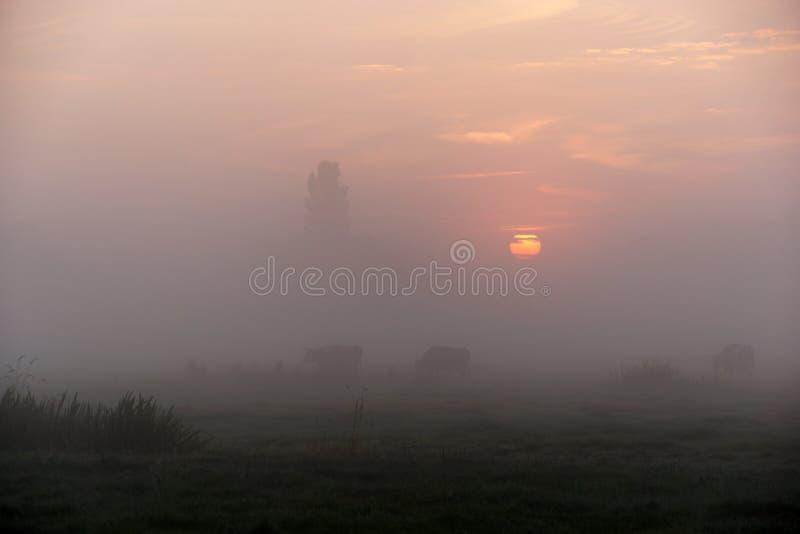 母牛在一个有薄雾的早晨 库存图片