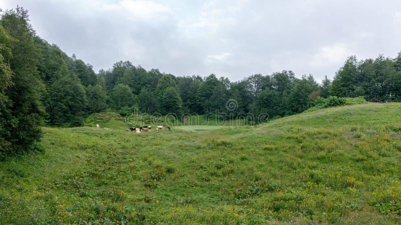 母牛在一个有薄雾的高山草甸吃草 免版税库存图片