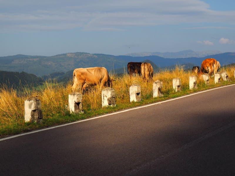 母牛在一个高山牧场地 免版税图库摄影
