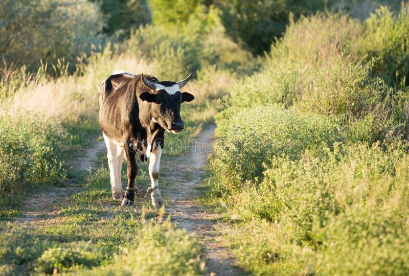母牛在一条土路吃草本质上 免版税库存照片