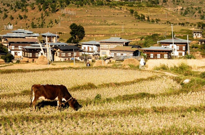 母牛在不丹山吃草 库存照片