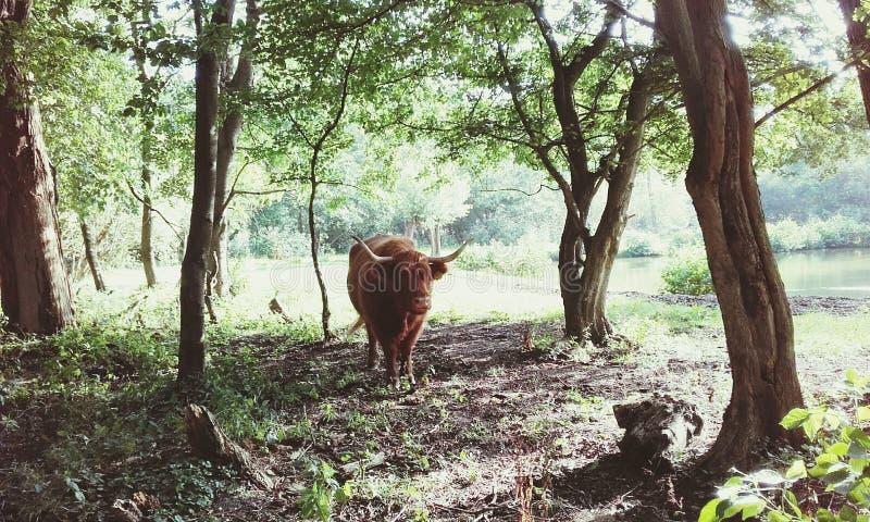 母牛在公园 库存照片