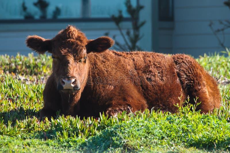 母牛在冰厂 图库摄影