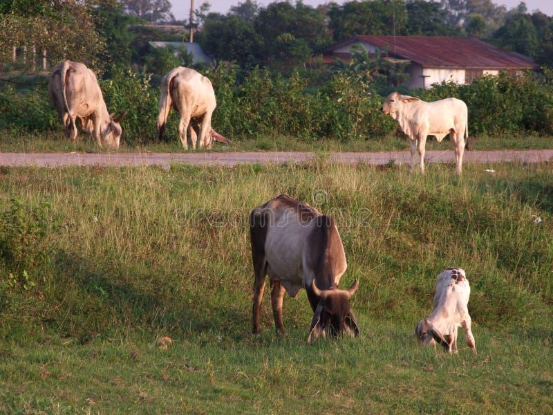 母牛在凹线增长在树丛的草成群结队吃草 库存照片