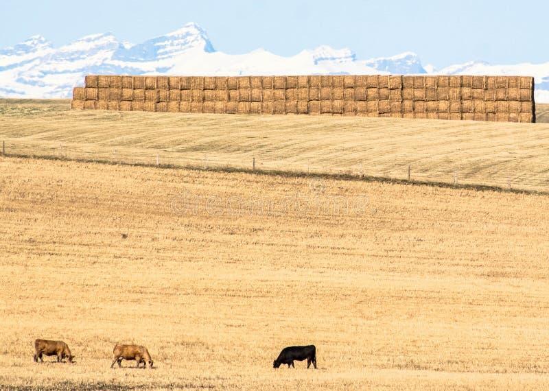 母牛在大草原,亚伯大,加拿大 免版税库存图片