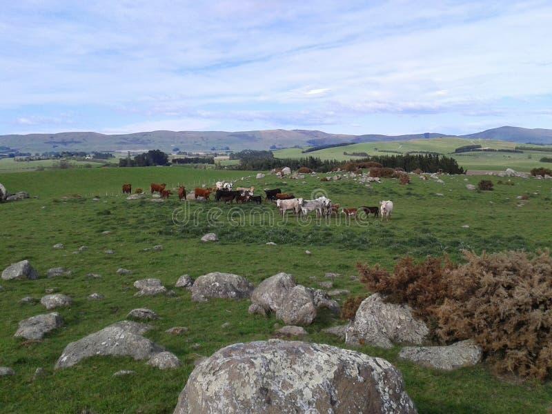 母牛在小山顶部 库存图片