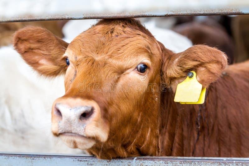 母牛在小牧场在农场 免版税库存照片