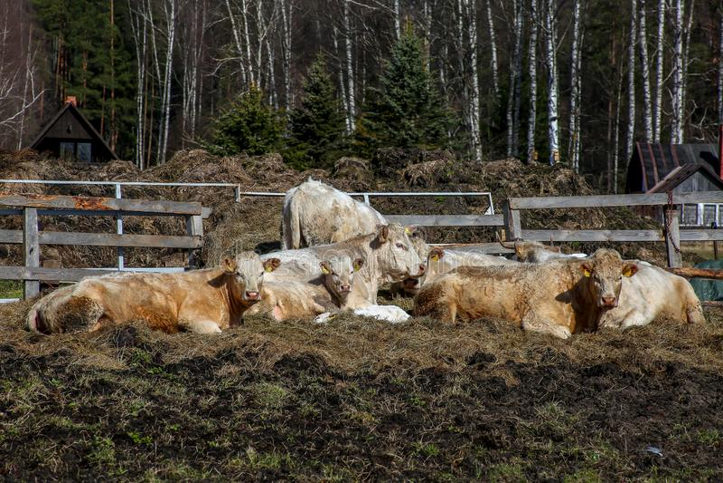 母牛在小牧场的农场在拉脱维亚 库存照片