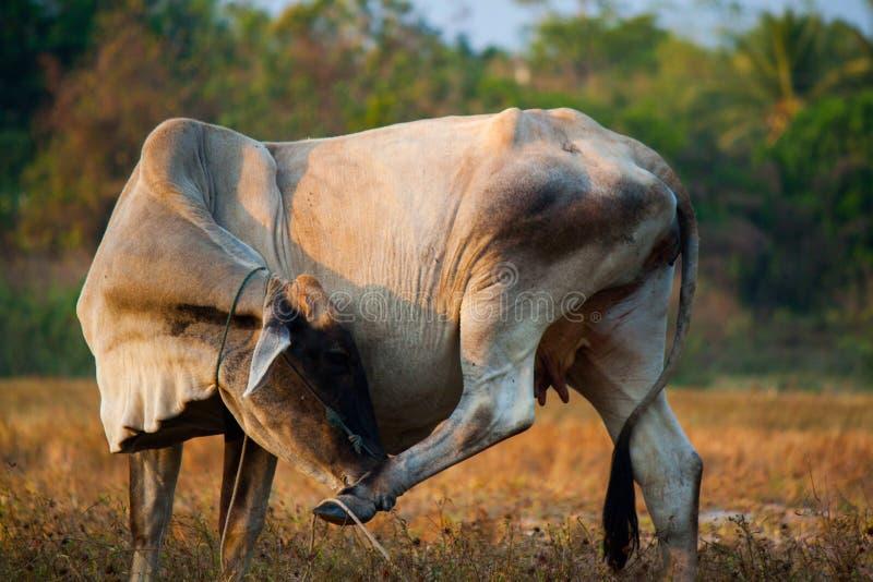 母牛在泰国 免版税库存图片