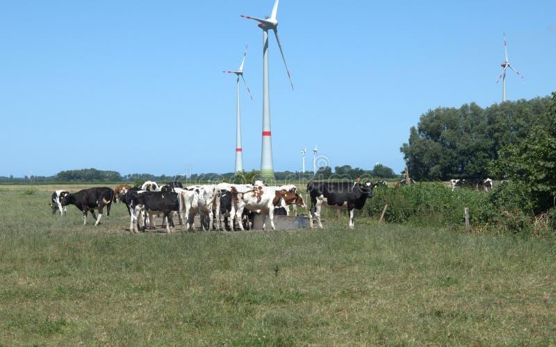 母牛在牧场地 免版税库存图片