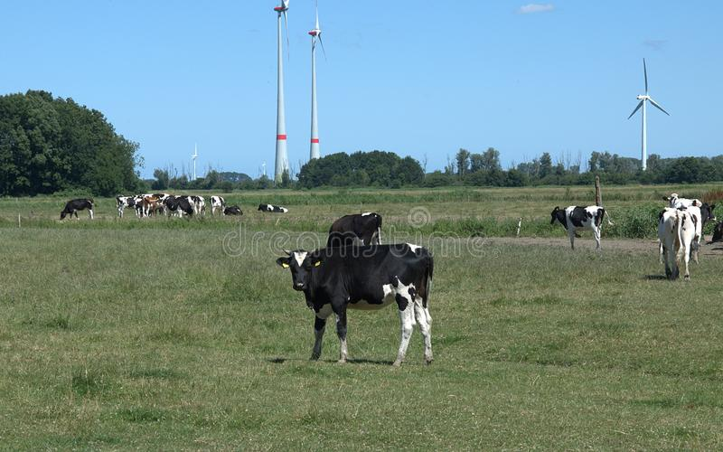 母牛在牧场地 库存图片