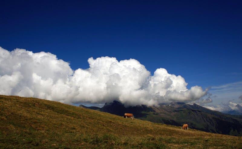 母牛在瑞士阿尔卑斯山脉 瑞士乡下 库存图片