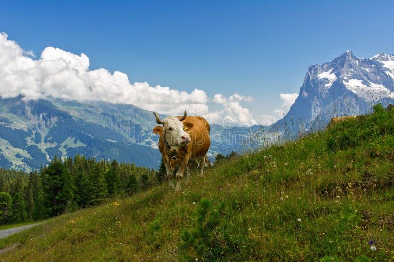 母牛在田园诗高山风景、阿尔卑斯山和乡下在夏天 库存照片