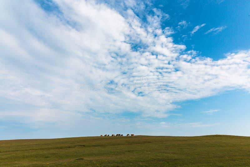母牛在绿色草甸天空蔚蓝农场吃草 免版税库存图片