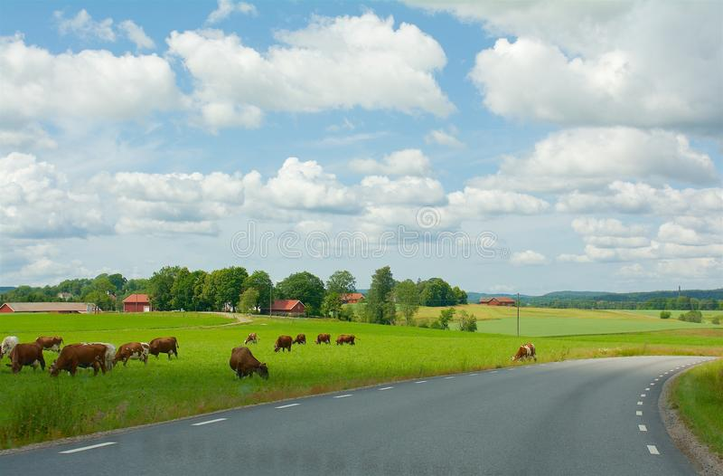 母牛在绿色领域的Upphärad在瑞典 库存照片