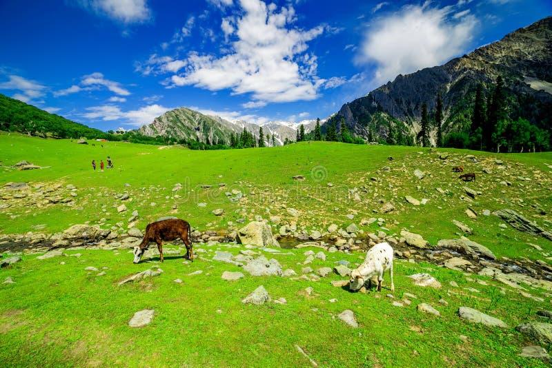 母牛在美丽的印度环境美化与雪峰顶 库存图片