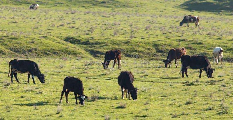 母牛在自然的牧场地吃草 免版税图库摄影