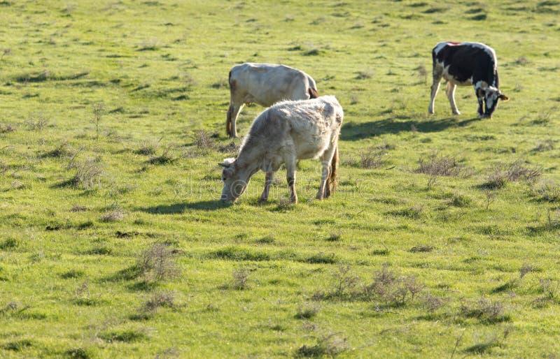 母牛在自然的牧场地吃草 库存图片