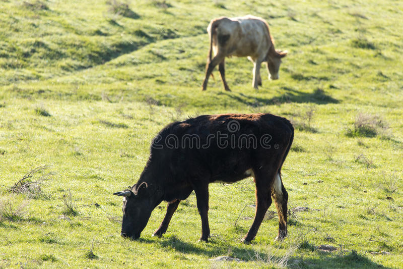 母牛在自然的牧场地吃草 免版税库存照片