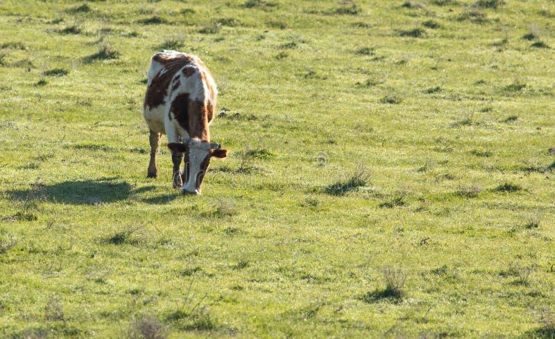 母牛在自然的牧场地吃草 库存照片