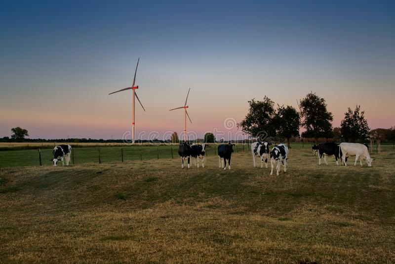 母牛在草甸吃草在日落,在色的天空前面的背景风轮机 库存图片