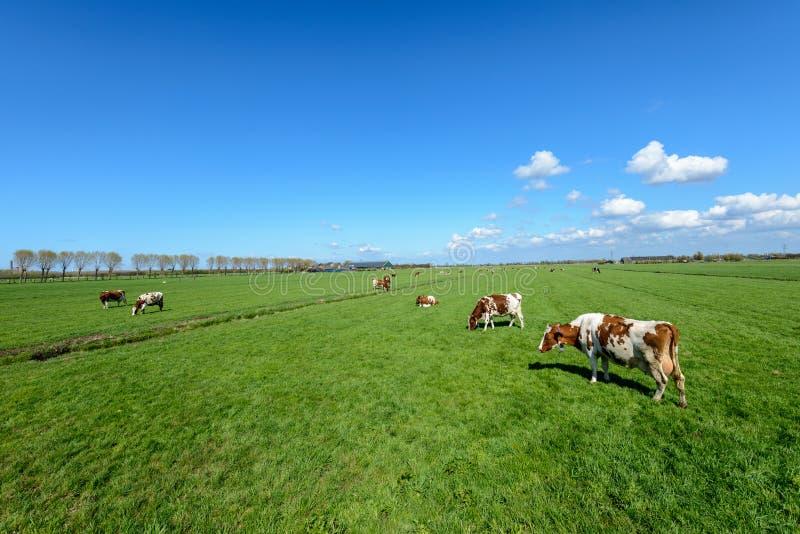 母牛在草甸在一个典型的荷兰开拓地在Rott附近环境美化 免版税图库摄影