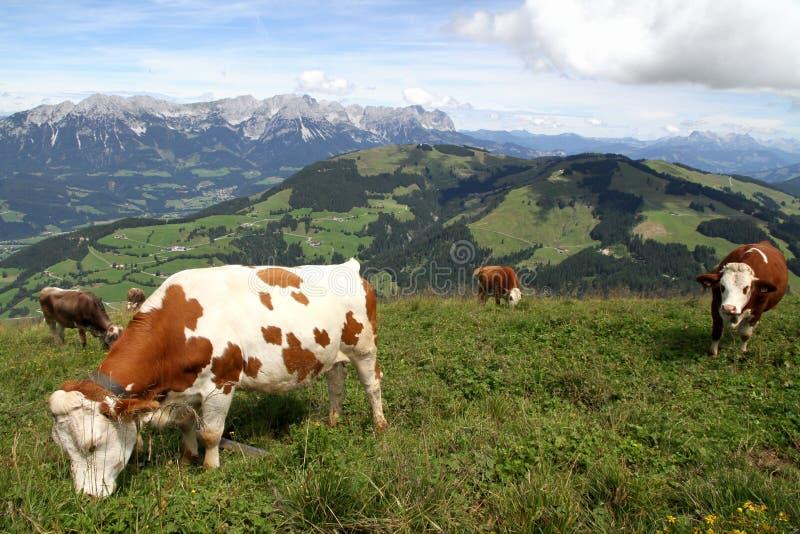 母牛在阿尔卑斯,奥地利 图库摄影