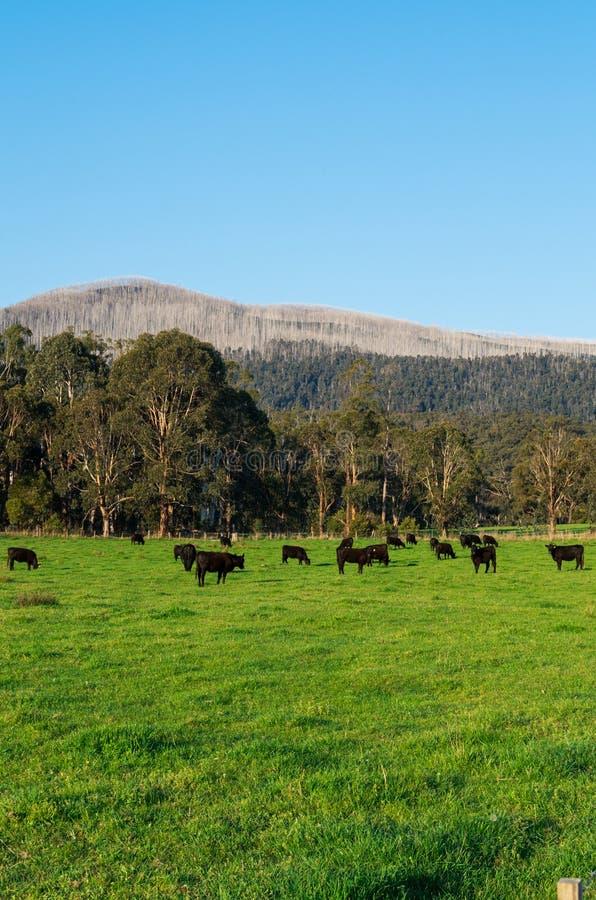 母牛在马里斯维尔附近的一个小牧场在农村维多利亚,澳大利亚 免版税库存照片