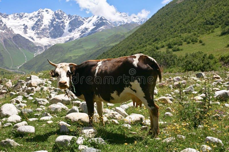 在山的一头母牛 库存图片