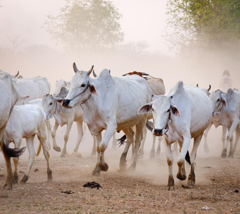母牛在Bagan,缅甸回来回家在日落 免版税库存图片