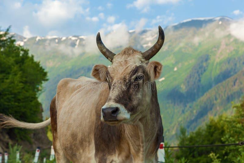 母牛在Mestia乔治亚 图库摄影