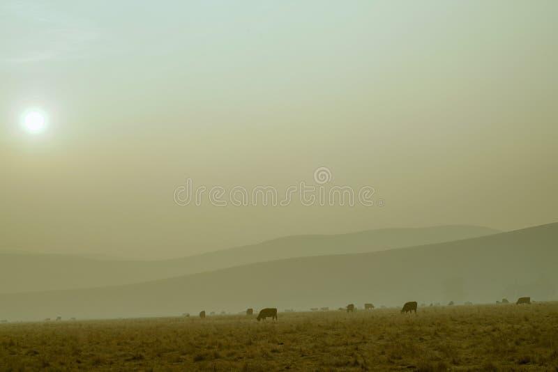 母牛在Smokey牧场地 库存照片
