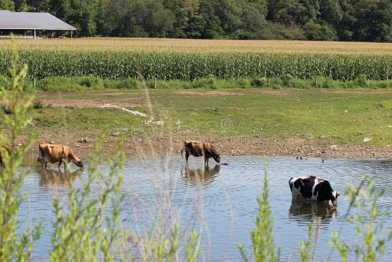 母牛在The Creek 免版税库存图片