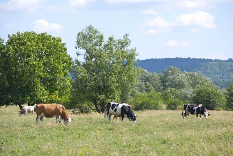 母牛地产 免版税库存照片