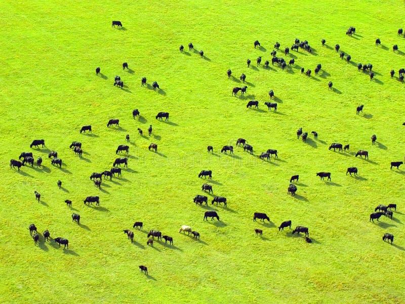 母牛域绿色牧群 免版税图库摄影