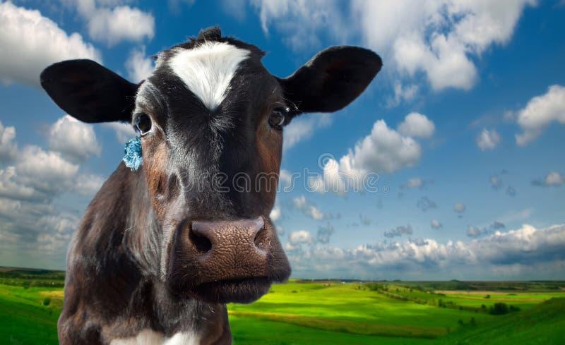 母牛多斑点反对背景 库存照片