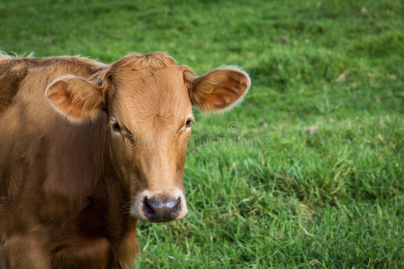 母牛小牧场 库存图片