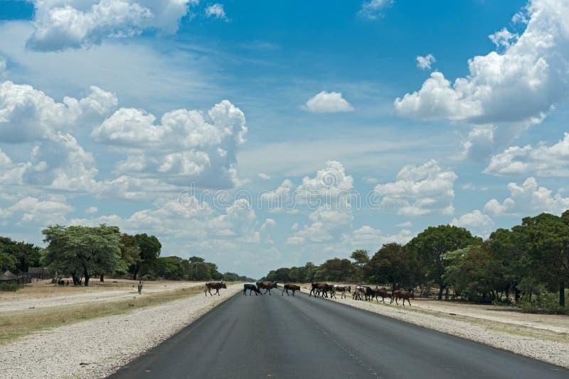 母牛小牧群穿过在龙杜,纳米比亚南部的B8路 免版税库存图片