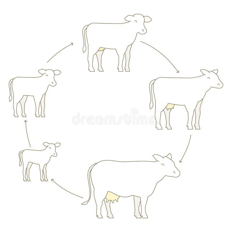 母牛成长集合圆的阶段  牛奶农场 养殖母牛 发牢骚生产 养牛业 小牛长大动画圈子 库存例证