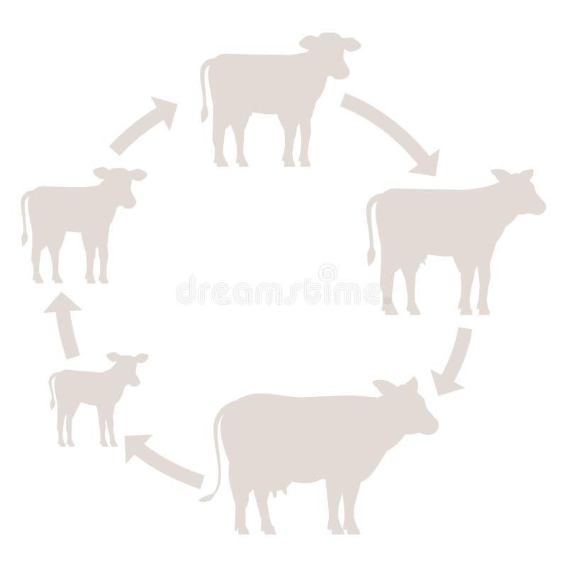 母牛成长集合圆的阶段  牛奶农场 养殖母牛 发牢骚生产 养牛业 小牛长大动画圈子 向量例证