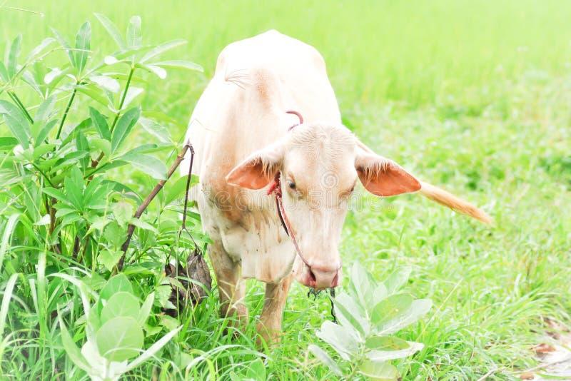 母牛或黄牛 库存照片