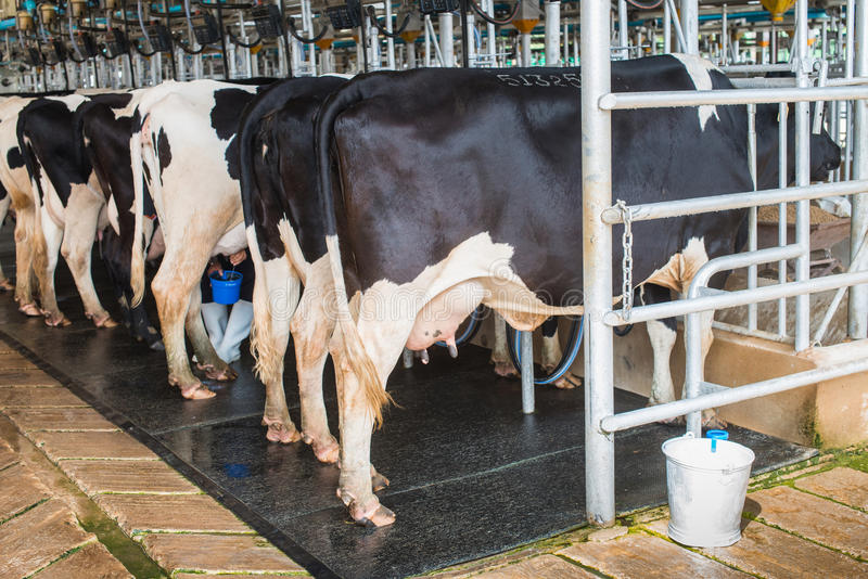 母牛挤奶设备 免版税库存照片